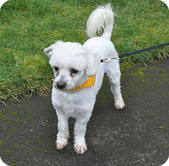 Poodle (Miniature)/Terrier (Unknown Type, Small) Mix Dog for adoption in Tumwater, Washington - Conner