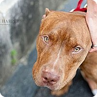 Adopt A Pet :: Jamison - Reisterstown, MD