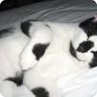 Adopt A Pet :: Smudge, Sylvester and Gabby - Winter Haven, FL