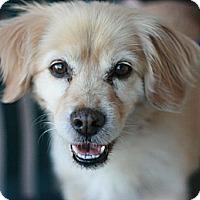 Adopt A Pet :: Bingo - Canoga Park, CA