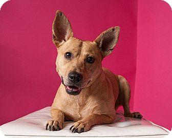 Australian Cattle Dog/Labrador Retriever Mix Dog for adoption in Houston, Texas - Addison