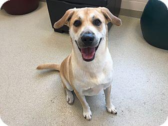 Shiba Inu/Labrador Retriever Mix Dog for adoption in Myakka City, Florida - Dobie