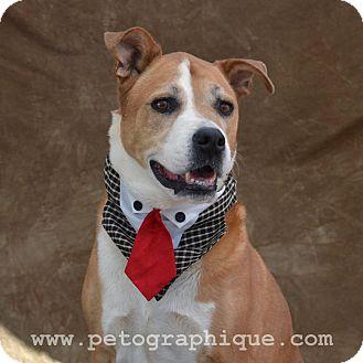 St. Bernard/Labrador Retriever Mix Dog for adoption in Las Vegas, Nevada - Feliz aka Harley