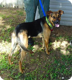 German Shepherd Dog Mix Dog for adoption in Seattle, Washington - Shep