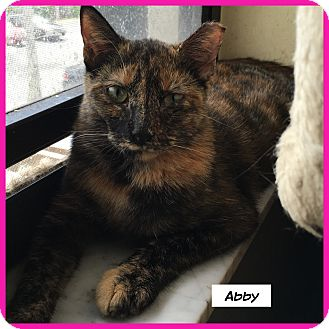 Domestic Shorthair Cat for adoption in Miami, Florida - Abby