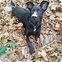 Adopt A Pet :: Chester - Tenafly, NJ