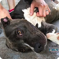 American Pit Bull Terrier/American Bulldog Mix Dog for adoption in Belle Chasse, Louisiana - Candi