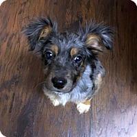 Adopt A Pet :: Sookie - Knoxville, TN