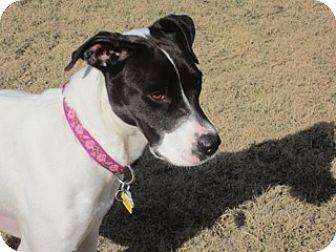German Shorthaired Pointer Dog for adoption in Menlo Park, California - Sarah