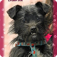 Adopt A Pet :: Charlie - Waterbury, CT