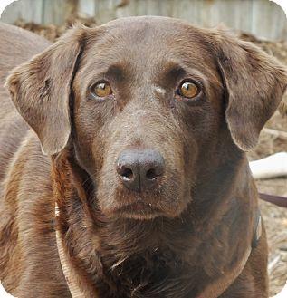 Labrador Retriever Mix Dog for adoption in Minneapolis, Minnesota - Evy