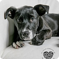 Terrier (Unknown Type, Medium)/Pit Bull Terrier Mix Puppy for adoption in Inglewood, California - Heart
