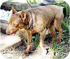 Miniature Pinscher Dog for adoption in Florissant, Missouri - Marshall