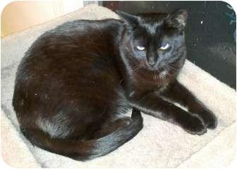 American Shorthair Cat for adoption in Richmond, Virginia - Ernie