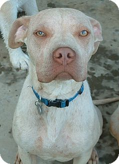 American Pit Bull Terrier/Boxer Mix Dog for adoption in Washington, D.C. - Andy ($250 Fee)