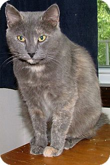 Domestic Shorthair Cat for adoption in Chattanooga, Tennessee - Missi