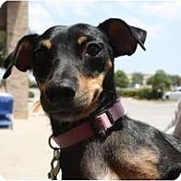 Adopt A Pet :: Lady - Arlington, TX