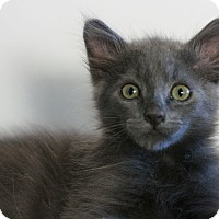 Adopt A Pet :: Little Grey - Canoga Park, CA