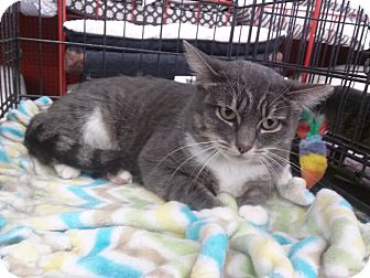 Domestic Shorthair Cat for adoption in Alamo, California - Alyssa