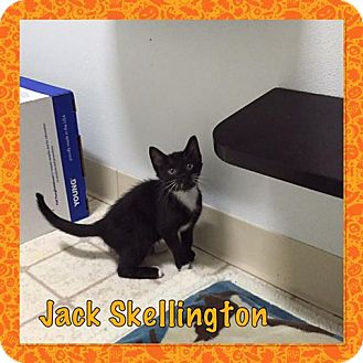 Domestic Shorthair Kitten for adoption in Bryan, Ohio - jack skellington