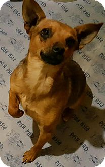 Chihuahua/Rat Terrier Mix Dog for adoption in Franklinville, New Jersey - Ronin