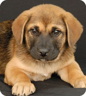 German Shepherd Dog Mix Puppy for adoption in Newland, North Carolina - Hulk