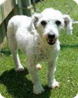 Bichon Frise Dog for adoption in Memphis, Tennessee - Charlie