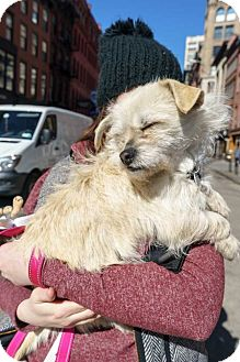 Terrier (Unknown Type, Small) Mix Dog for adoption in New York, New York - Sandy