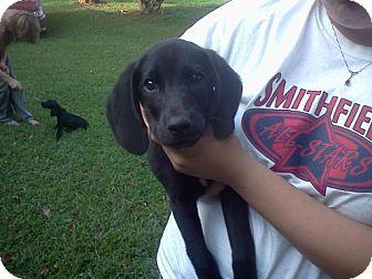 Labrador Retriever/Hound (Unknown Type) Mix Puppy for adoption in West Bridgewater, Massachusetts - Brewster