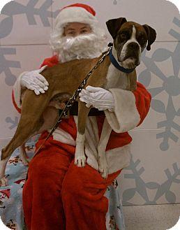 Boxer Dog for adoption in Scottsdale, Arizona - Mason