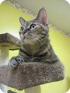 Domestic Shorthair Cat for adoption in Mobile, Alabama - Chloe