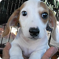 Adopt A Pet :: Snoopy - dewey, AZ