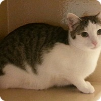 Domestic Shorthair Cat for adoption in Statesville, North Carolina - Leia