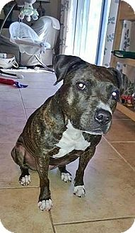 American Staffordshire Terrier Mix Dog for adoption in Tampa, Florida - Lola