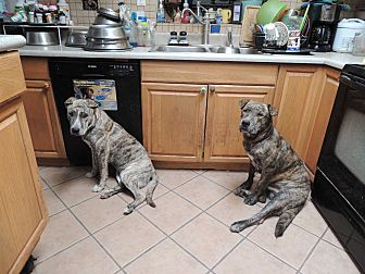 Mastiff/Pit Bull Terrier Mix Dog for adoption in Pomerene, Arizona - Frodo and Bubba