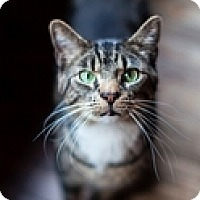 Adopt A Pet :: Tiger - Vancouver, BC