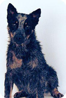 Australian Cattle Dog Dog for adoption in Newland, North Carolina - Poco