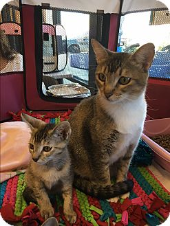 Domestic Shorthair Cat for adoption in Palm Springs, California - Cindy and Peter