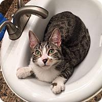 Adopt A Pet :: Toby - Troy, MI