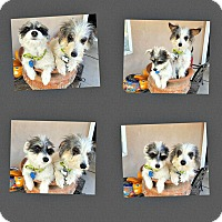 Adopt A Pet :: Moxie and Foxie - BONDED PAIR - Tijeras, NM