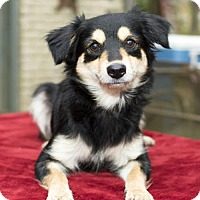 Chihuahua/Pomeranian Mix Dog for adoption in Santa Fe, Texas - Cherry--sweet baby girl---N