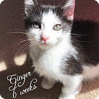 Adopt A Pet :: Ginger - Island Park, NY