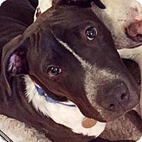 Adopt A Pet :: Poppy - Harrison, NY
