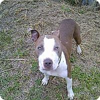 Adopt A Pet :: Brandy meet me 6/2 - Manchester, CT