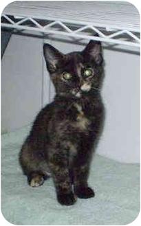 Domestic Shorthair Kitten for adoption in Boston, Massachusetts - Missy