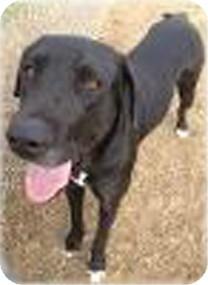 Labrador Retriever Mix Dog for adoption in Quinlan, Texas - Dazee
