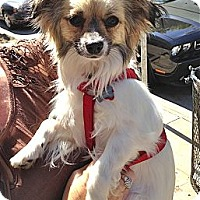 Adopt A Pet :: Miggins - Los Angeles, CA
