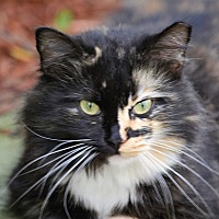 Maine Coon Cat for adoption in Sunny Isles Beach, Florida - Fluffy