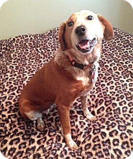 Cattle Dog Mix Dog for adoption in Staunton, Virginia - Shady