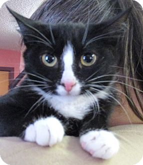 Domestic Shorthair Kitten for adoption in Reeds Spring, Missouri - Venus